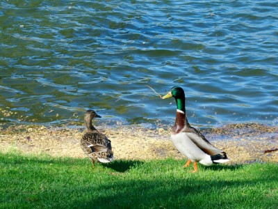 Ducks in Boston's Public Garden